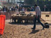sinia des lluçanès - treball ovelles Mercat del Ram de Vic - 2019