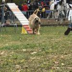 Gamba des lluçanès - Gos d'Atura Català - agility - fira de sant martirià de banyoles - 2016